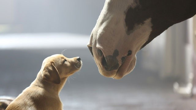 Budweiser Shows Us Some Adorable Puppy Love In New Ad