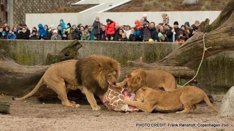 Zoo That Murdered Giraffe Last Month Is At It Again; Euthanized 4 Healthy Lions Today