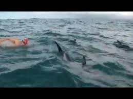 Swimmer Being Followed By Shark Finds Protection In An Unexpected Place: Dolphins