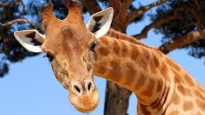 Woman Gets Licked, Then Kicked After Climbing Into A Giraffe Enclosure | Giraffe