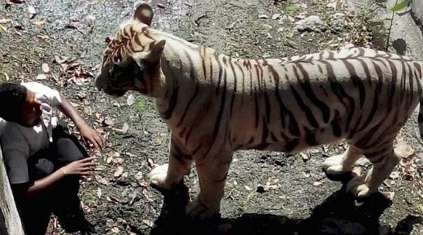 Visitors Flocking To See White Tiger That Attacked Student In Delhi Zoo | white tiger