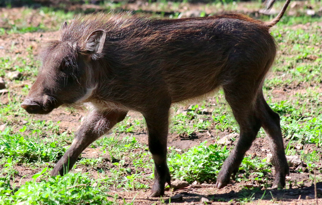 Detroit Zoo Names Warthog Piglets After 'Game of Thrones' Characters | piglets