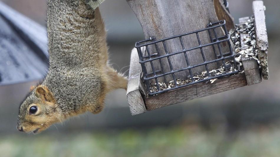 Drunk Squirrel Causes Havoc In UK Social Club | squirrel