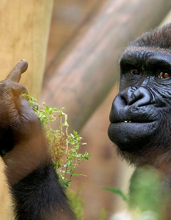 Gorilla Flips Off Photographer At Bristol Zoo | gorilla