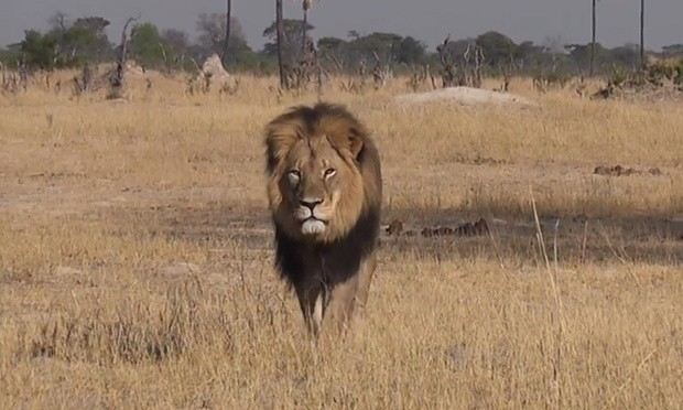 Jimmy Kimmel Has Visceral Response To Death Of Cecil The Lion | Cecil the Lion