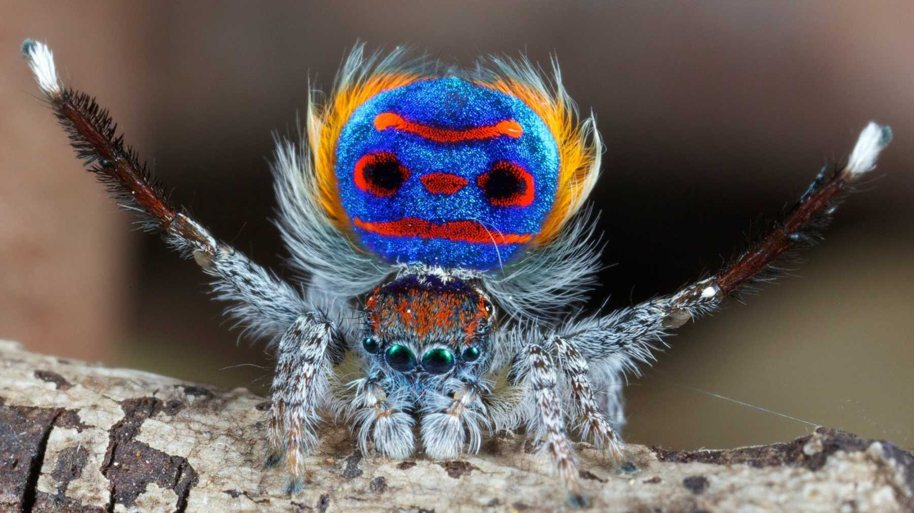 World's Cutest Male Spider Dances To Impress The Ladies | Spider