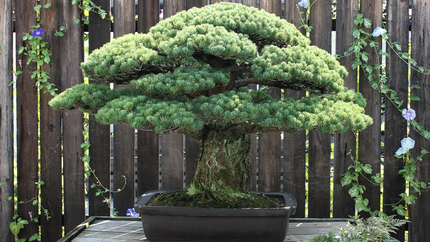 Nearly 400-Year Old Bonsai Tree Survived Atomic Blast | Bonsai Tree