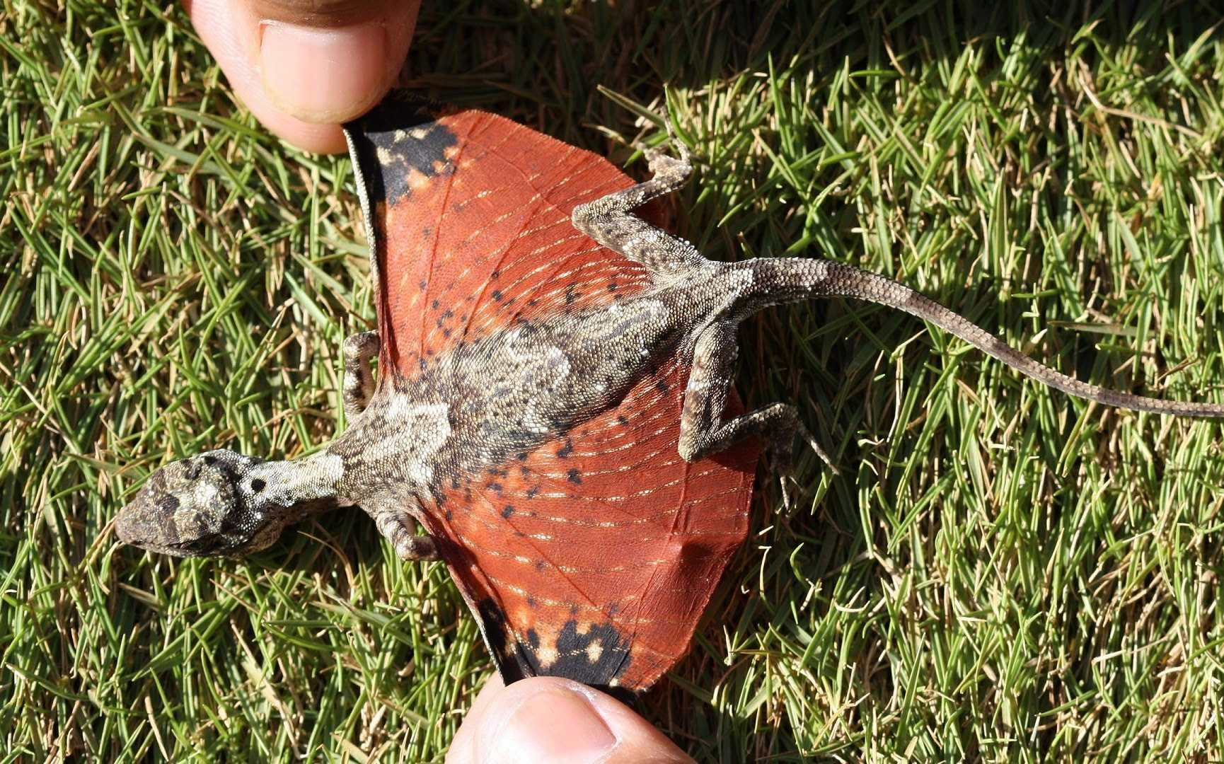 Newly Discovered Lizard Sparks Dragon-Like Fantasies | Dragon