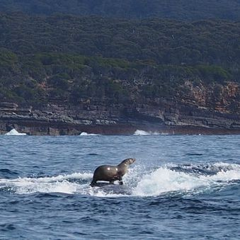 Australian Woman Photographs Seal Riding Whale, For Real! | Seal