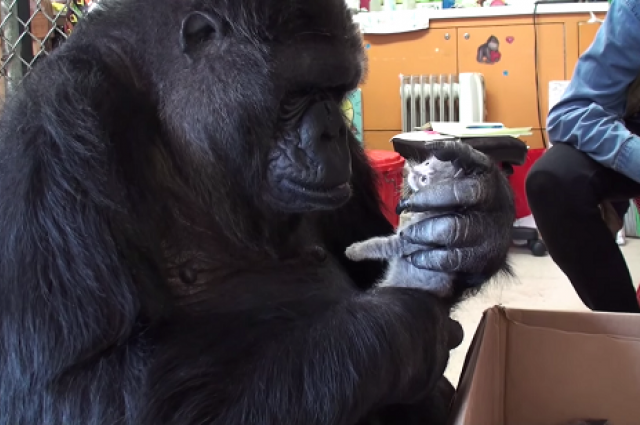 Cute Overload: Koko The Gorilla Loves Kittens More Than You Do | koko the gorilla