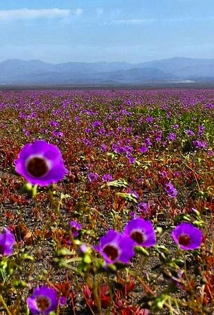 One Of The World's Driest Deserts Springs To Life With Infrequent Flower Bloom | Flower