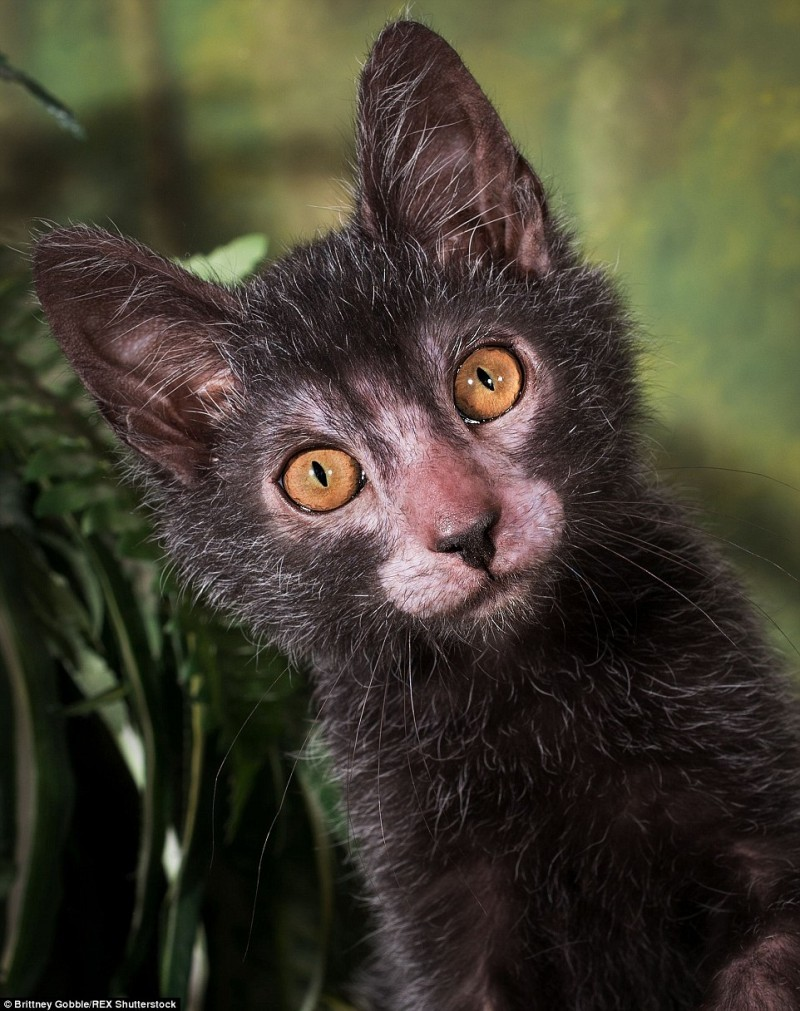 "Take A Look At The Adorable And Fierce ""Werewolf"" Cat Breed Lykoi 