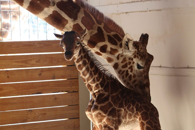 It's A Boy! April The Giraffe Gives Birth | April The Giraffe