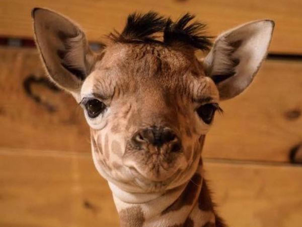 April the Giraffe Finally Has a Name for Her Calf | Giraffe