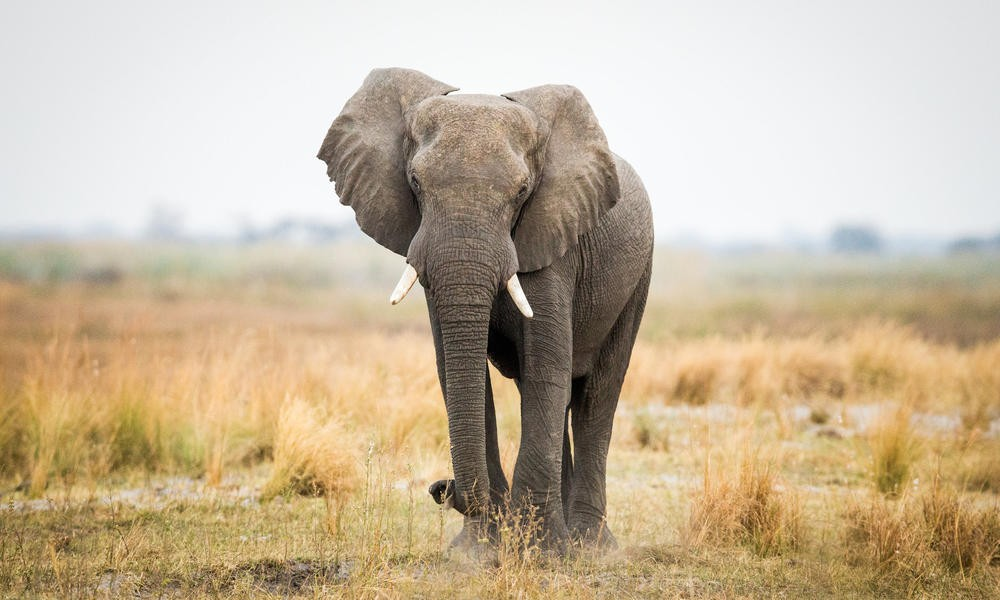 Death By Elephant: Hunter Dies In Zimbabwe | Elephant