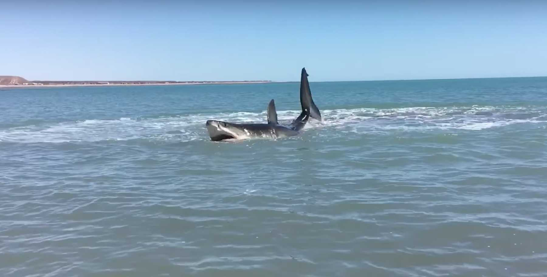 Man Films Injured Shark Off Baja Coast | Shark
