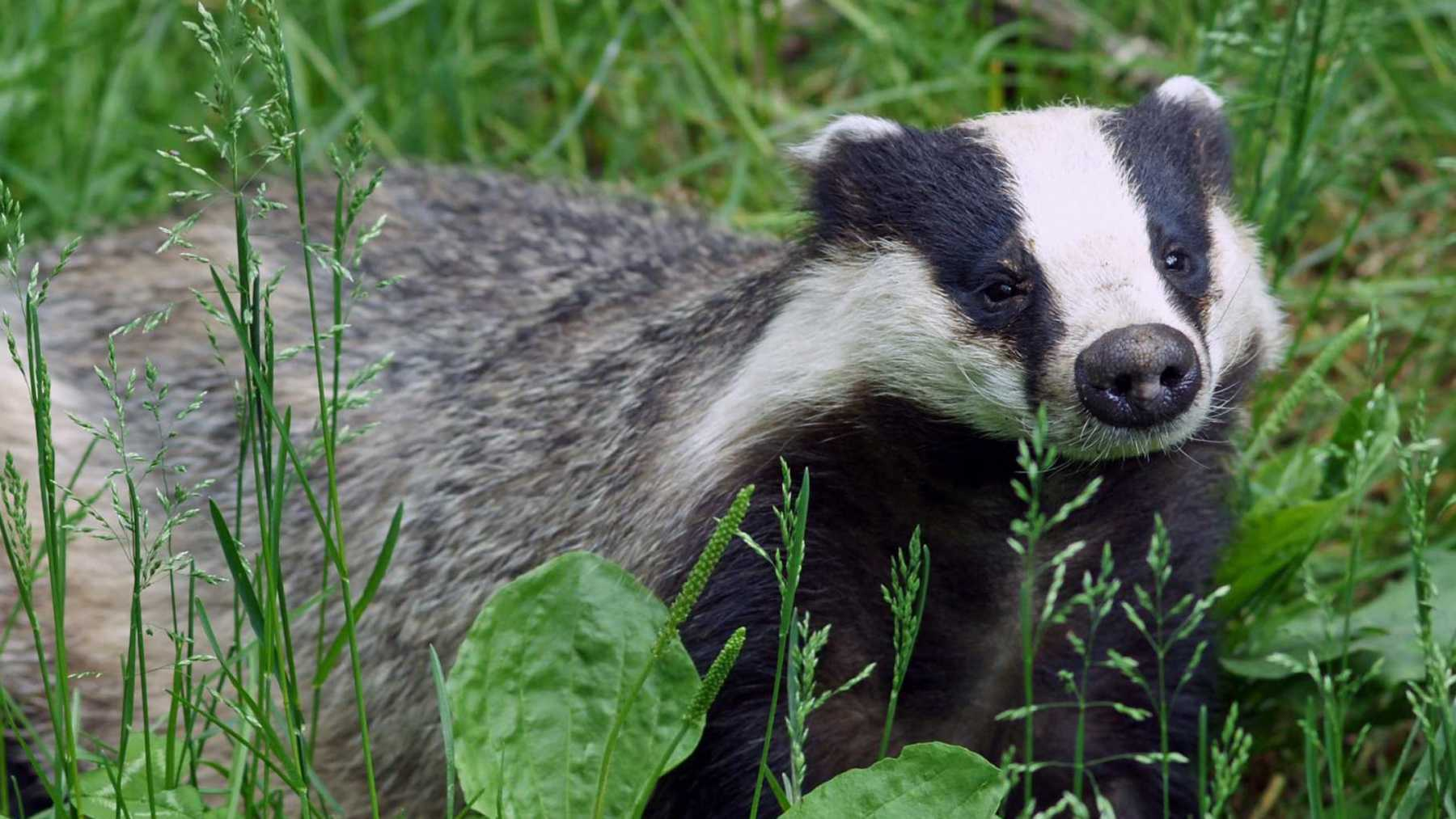 None Shall Pass: Angry Badger Bars Entry To 16th-Century Scottish Castle | badger